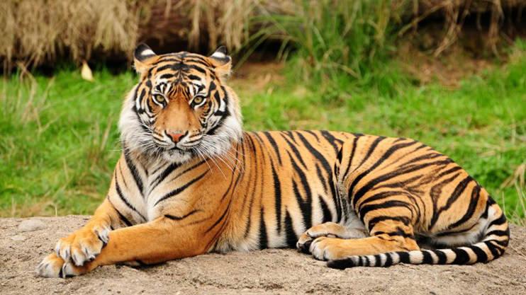 Great-Tiger1